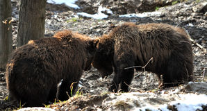 View of two brown bears Royalty Free Stock Photography