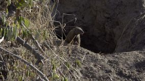 Two common Dwarf Mongoose in a termite mound