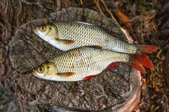 View of two common rudd fish on natural vintage wooden backgroun Royalty Free Stock Images