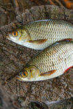 View of two common rudd fish on natural vintage wooden backgroun Stock Photography