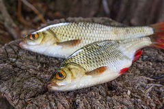View of two common rudd fish on natural vintage wooden backgroun Stock Photo