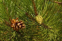Black pine. A view of two cones that are at different stages of Royalty Free Stock Images