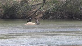 Georgia, Island Ford Park, Two cormorant birds on a rock in the Chattahoochee River. This is view of two cormorant birds sunning themselves on a rock in the stock footage