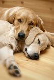View of two dogs lying royalty free stock photography