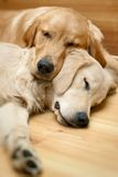 View of two dogs lying Royalty Free Stock Photos