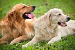 View of two dogs lying Stock Photography