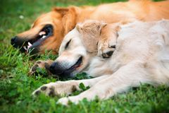 View of two dogs lying Stock Image