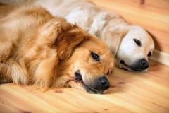 View of two dogs lying Stock Images