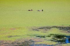 River Bosut in Vinkovci. A view of two ducks swimming in the green river Bosut covered with algal blooms in Vinkovci, Croatia Stock Images