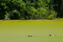 River Bosut in Vinkovci. A view of two ducks swimming in the green river Bosut covered with algal blooms in Vinkovci, Croatia Stock Image