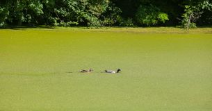 River Bosut in Vinkovci. A view of two ducks swimming in the green river Bosut covered with algal blooms in Vinkovci, Croatia Royalty Free Stock Image
