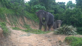 View of two elephants eating palm leaves on a hill in Phuket, Thailand stock video