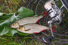 View of two freshwater common rudd fish on black fishing net and Stock Photography