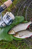 View of two freshwater common rudd fish on black fishing net and Stock Images