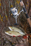 View of two freshwater common rudd fish and fishing rod with ree Royalty Free Stock Photo