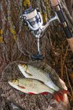 View of two freshwater common rudd fish and fishing rod with ree Stock Photo