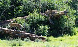 Two Spotted Leopards. View of two lazy beautiful majestic spotted puma big cats on the Garden Route, South Africa Stock Photos