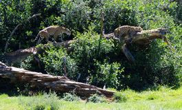 Two Spotted Leopards. View of two lazy beautiful majestic spotted puma big cats on the Garden Route, South Africa Stock Photography