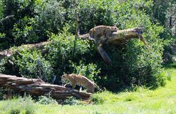 Two Spotted Leopards. View of two lazy beautiful majestic spotted puma big cats on the Garden Route, South Africa Stock Image