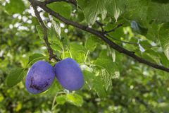 Two plums on the tree Royalty Free Stock Photography