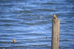 YELLOW COLOURED WEAVER ON A POST AND ONE ON A WIRE royalty free stock image