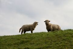 View on two white sheeps standing on a grass area in rhede emsland germany. Photographed during a sightseeing tour in rhede emsland germany stock photos