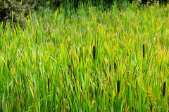 View of the Typha latifolia Royalty Free Stock Image