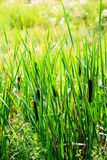View of the Typha latifolia Stock Photography