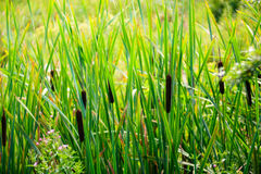 View of the Typha latifolia Royalty Free Stock Images