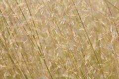 African Grass Fields - Savanna Seeds Royalty Free Stock Photography