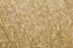 African Grass Fields - Savanna Seeds Royalty Free Stock Photography
