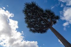 Young dragon`s blood tree, scientific name Dracaena draco, against a blue sky. View from under the canopy of a dragon`s blood tree, spreading its branches out Royalty Free Stock Photography