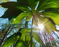 Sunlight from underneath the mayapple. View from under a green mayapple on the forest floor, Lancaster county, Pennsylvania stock photos