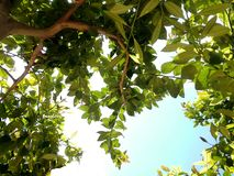 View under lemon tree. View under branches lemon tree over a blue and splendid sky royalty free stock photography