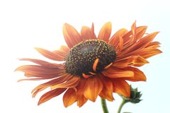 The view under orange sunflower royalty free stock photography