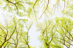 View from under tree to top in green forest, Central Park. Stock Image