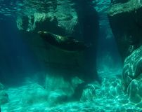 California sea lion swimming. View underwater. life and fauna marina, mammalian animal of saltwater, at a zoo in the Mexico City Stock Image