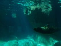 California sea lion swimming. View underwater. life and fauna marina, mammalian animal of saltwater, at a zoo in the Mexico City Stock Photo