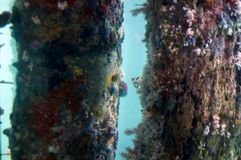 View from the Underwater Observatory, Busselton Jetty, WA, Australia. Views of life on the pylons from the Underwater Observatory, Busselton Jetty, Western stock image