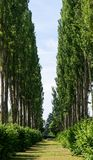 Tree lined avenue. The view up an avenue of Poplar trees royalty free stock images