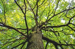 View up from bottom of a lagre maple tree with foliage royalty free stock photos