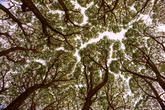 View up at the crowns of trees Royalty Free Stock Photo