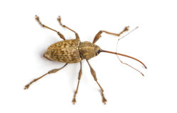 View from up high of a Acorn weevil, Curculio glandium, isolated Stock Photos