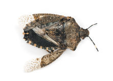View from up high of a dead Stink Bug, Pentatomoidea, isolated Stock Photo