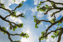 View up through a sycamore limb in summer Stock Images