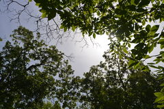 View Up to Tree Canopy Toward Sun and Blue Sky. Wide angle view with Nikon D600 amd 16-35mm lens Royalty Free Stock Photography