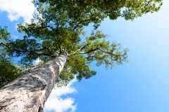 View up to the tree top of a huge plane tree in blue sunny day royalty free stock photo