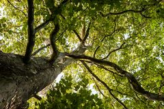 Through a big plane tree crown view. View up to the tree top of a huge plane tree in springtime Stock Images