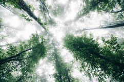 View up the trees in enchanted forest with fog Stock Photo