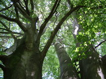 A view up into the trees. Looking up into the trees from the ground royalty free stock photos